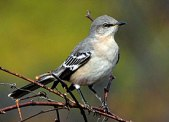 northern_mockingbird_glamour