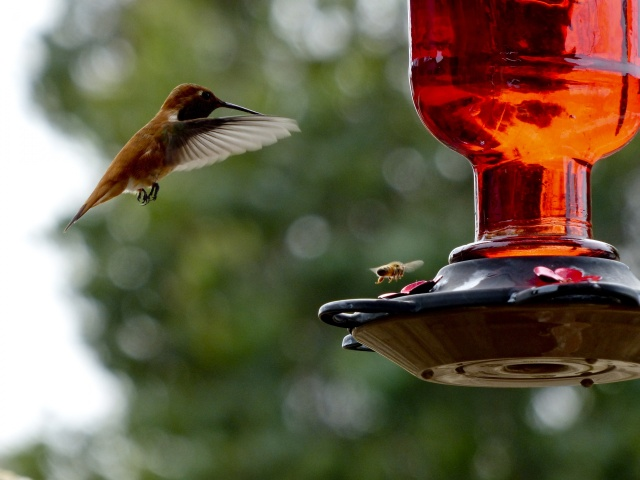hummingbird-and-bee-flying.jpg