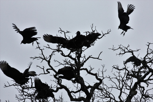 black-buzzards-in-tree-silhouette.jpg